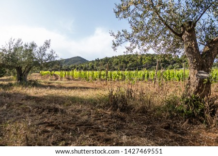 rows of grapevines on a vineyard in spain #1427469551