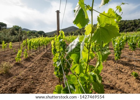 rows of grapevines on a vineyard in spain #1427469554