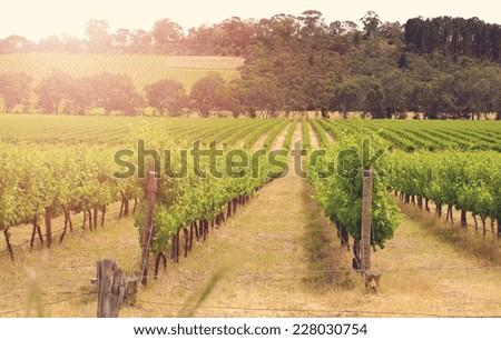 Rows of grapevines taken at Australia\'s prime wine growing winery area in McLaren Vale, Fleurieu Peninsula, South Australia.