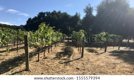 Rows of grapevines with deliberate sunlight flare through image at top right. #1555579394