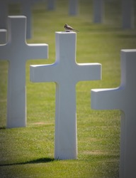 Rows of graves in the American mlitary cemetary in Luxembourg, bird on top of a grave
