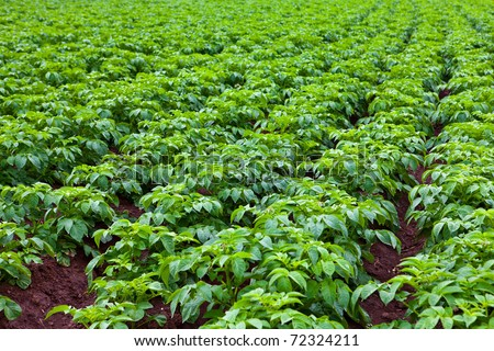 rows of green potato plant in field