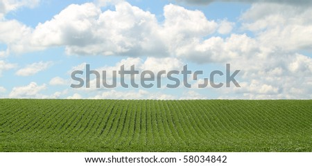Rows of green soybeans against a blue sky with clouds