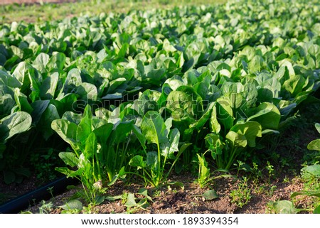 Rows of green spinach on a field. High quality photo Сток-фото ©
