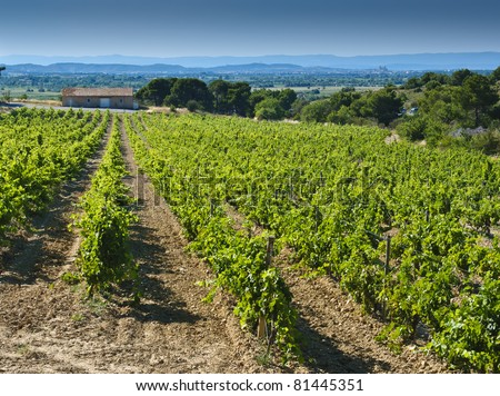 Rows of green vines in a vineyard in rural southern France