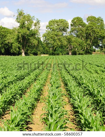 Rows of Growing Agricultural Crops