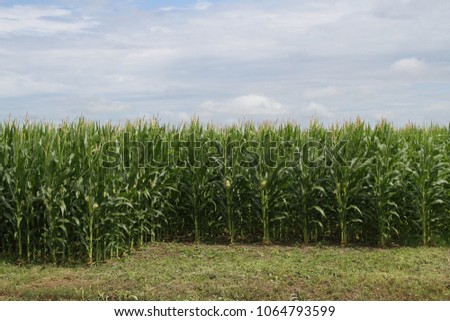 Rows of growing corn in a rural field #1064793599