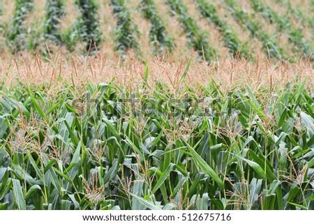 Rows of growing corn in a rural field #512675716