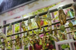 Rows of hanging cocoons of hatched various decorative butterflies