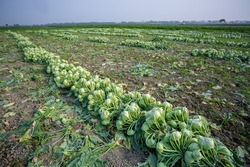 Rows of harvested kohlrabi vegetables have been laid on the ground.