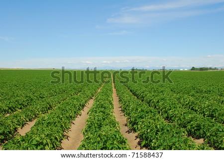 Rows of Idaho Russet potatoes.