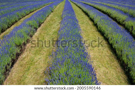 Rows of lavender are planted at a farm on Washington Island in Door County, WI.  The lavender is harvested, usually in early August and used in food, cosmetic, medicinal and a host of other prod Zdjęcia stock ©