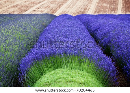Rows of lavender growing in a field