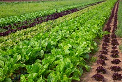 Rows of lettuce and vegetables seedlings in garden outdoor, no people