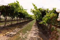 Rows of mature grape vines just after harvest on trellis covered with white plastic for shade from the fierce sun in Emerald, Queensland, Australia.