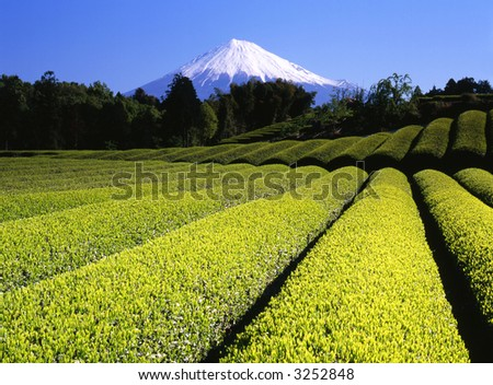 Rows of new green tea in Spring with beautiful Mount Fuji in the background