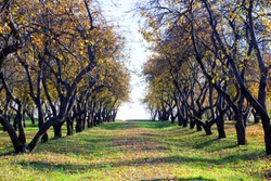 Rows of old apple trees with gold yellow and orange crowns and twisted branches in orchard with green grass and fallen leaves in bright sunny autumn day
