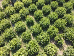 Rows of olive trees. Olive grove aerial view