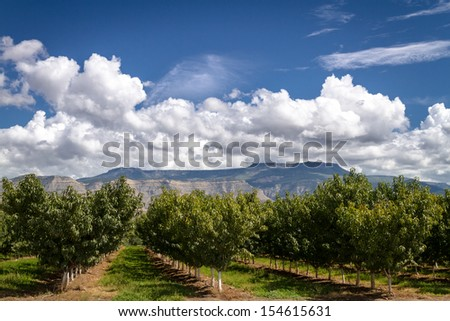 Rows of peach trees in Palisades Colorado orchard on sunny afternoon