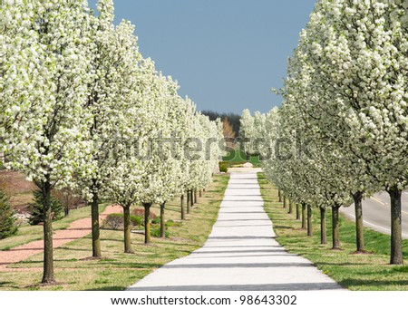 Rows of pear trees in blossom - stock photo
