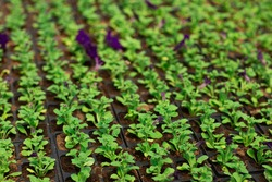 Rows of petunia flowers in pots, grown in a greenhouse. Plants are ready for export. Gardening and planting concept. Working in the garden