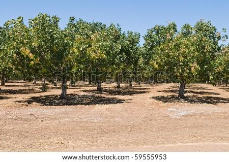 Rows of pistachio nut trees