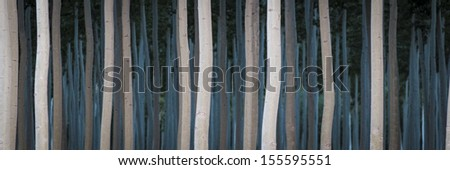 Rows of poplars in a tree farm, for the paper industry