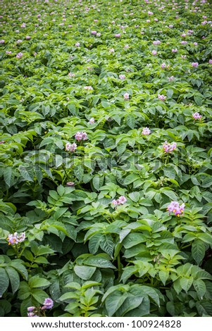 rows of potato with pink flower in field
