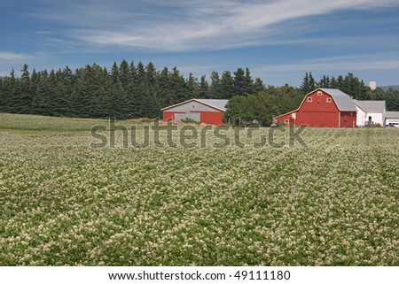 Rows of potatoes blooming on a Prince Edward Island farm.