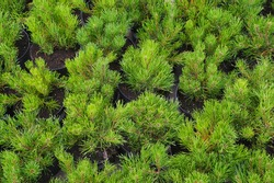 Rows of pots with small conifers (Pinus mugo, known as bog pine, creeping pine or dwarf mountain pine. Garden shop.