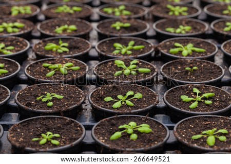 Rows of Potted Seedlings and Young Plants in Greenhouse