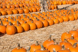 Rows of pumpkins in hay ready for sale in a pumpkin patch.