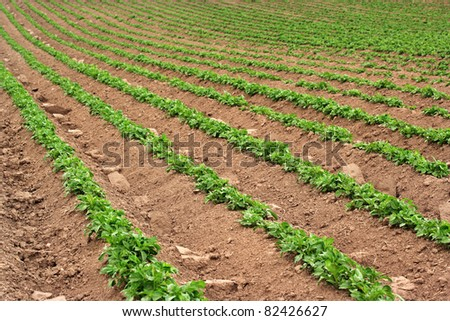 Rows of recently sprouted potatoes growing in a field.