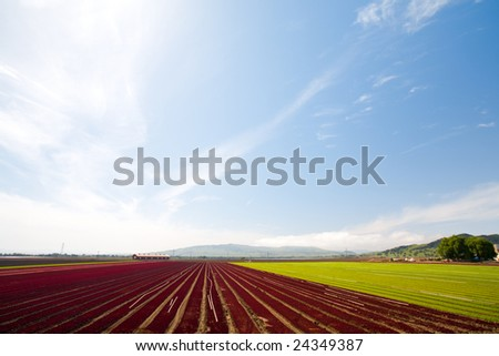 Rows of Red and Green Crops Under Blue Sky - stock photo