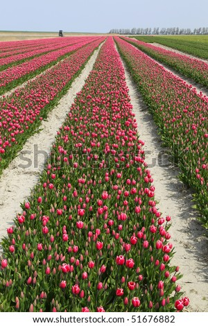 rows of red and white tulips