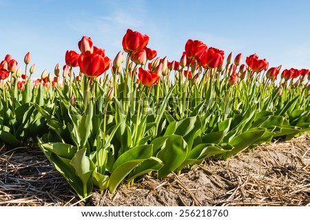 Rows of red blooming tulip plants in the soil of a Dutch nursery on a sunny day in springtime. #256218760