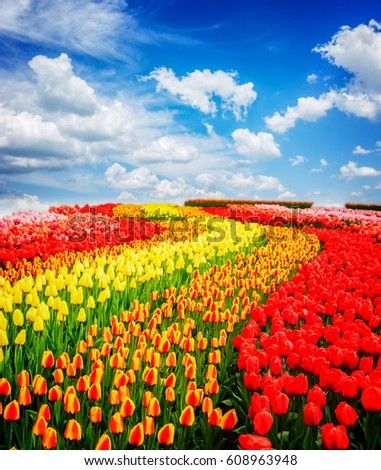 Rows of red, orange and yellow tulip flowers stripes under blue sky, Netherlands, toned