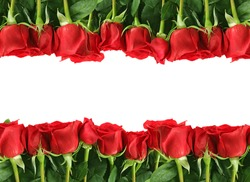 Rows of Red Roses Lined Up Along the Image Edge on White