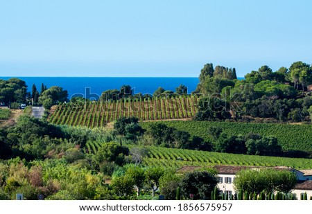 Rows of ripe wine grapes plants on vineyards in Cotes  de Provence with blue sea near Saint-Tropez, region Provence, Saint-Tropez, south of France, rose wine making in France