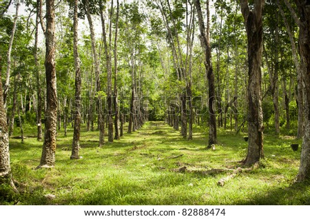 Rows of rubber trees being tapped in a plantation - stock photo