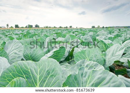rows of salad, cabbage on an agriculture field
