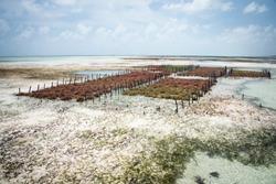 Rows of seaweed on a seaweed farm, Jambiani, Zanzibar island, Tanzania