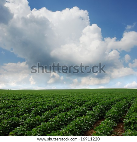 Rows of soy beans growing in South Dakota.