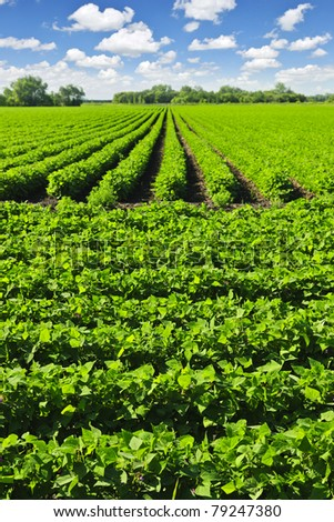 Rows of soy plants in a cultivated farmers field
