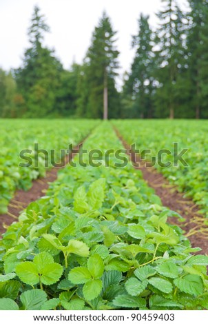 Rows of strawberry. Shallow depth of field. Focus on the closest plants.