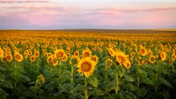 Rows of Sunflowers in a field at sunrise along the Colorado front range