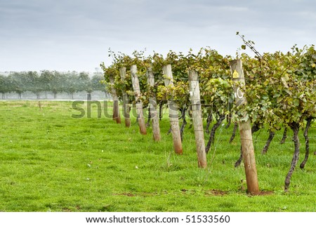 Rows of supported and trained grapevines
