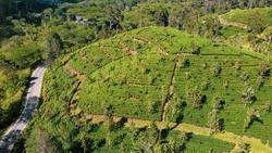 Rows of Tea Plants Along the Road  From Drone Near Haputale, Sri Lanka