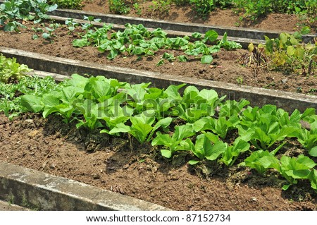 Rows Of Vegetable In A Farm