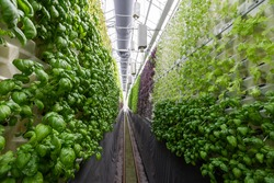 Rows of vegetables in organic vertical farming